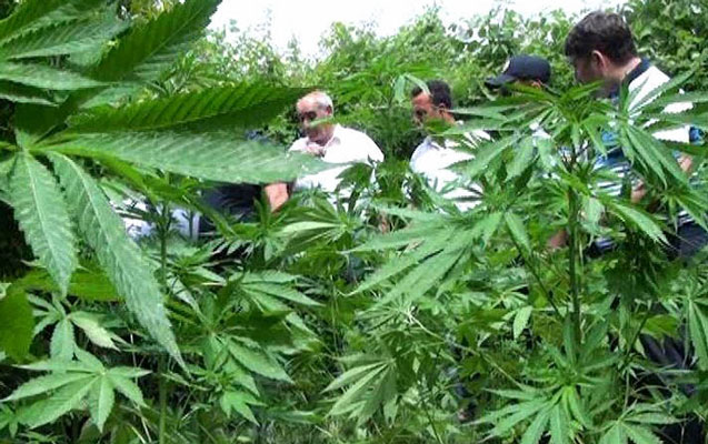 Zaqatala qoruğunun ərazisində narkotik bitkilər aşkarlanıb